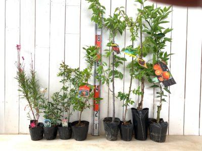 ガウラピンク、ガウラ白、モッコウバラ白一重咲き、姫いちごの木赤花、プラム井上、稲積梅、甲斐路葡萄、べにばえミカンなどの本日の発送苗