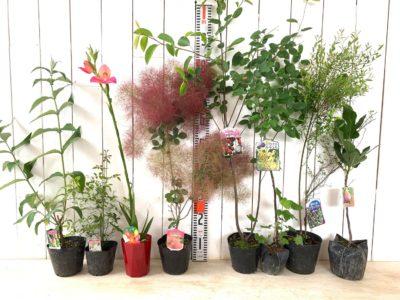 フラワーパワー ブットレア、モッコウバラ白一重咲き、ディサキューエンシス、リトルルビー スモークツリー、バレリーナ ジューンベリー、白フサスグリ、ビルベリー、ブラウンターキー無花果などの本日の発送苗