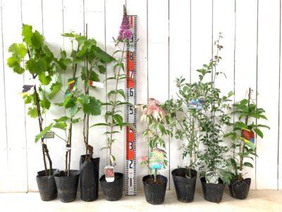 ブラックビート葡萄、マニキュアフィンガー葡萄、ピッテロビアンコ葡萄、ピンクパール ブットレア、ネグンドカエデフラミンゴ、パウダーブルー ブルーベリー、白一重咲きモッコウバラ、ムベなどの本日の発送苗