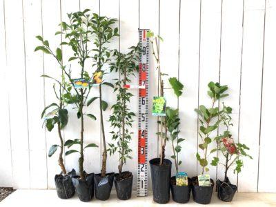 ベルガモットオレンジ、はるかみかん、小みかん、八房の梅、瀬戸ジャイアンツ葡萄、グリーンファウンテン スモークツリー、グリーンボール  スモークツリー、レッドカーラント赤フサスグリなどの本日の発送苗