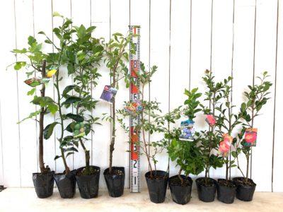 バナッチ無花果、夏みかん、小核系スダチ、ベイラー プルーン、サンシャインブルー ブルーベリー、シャープブルー ブルーベリー、発心桜さざんか、勘次郎さざんかなどの本日の発送苗