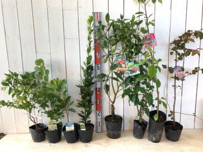 ジャボチカバ、グリーンボール スモークツリー、ホワイトマジック スモークツリー、ローリエ、ぷちまる金柑、ビックリグミ、河津桜、メリーミルトンなどの本日の発送苗