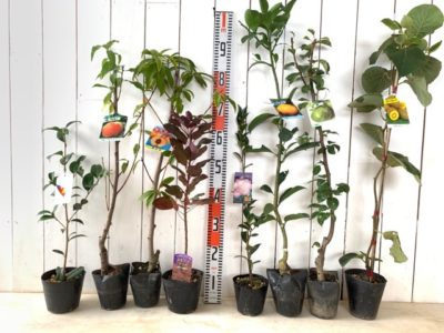 月の輪椿、ゆうぞら桃、黄金桃、ベルベットクローク スモークツリー、秋月サザンカ、夏ミカン、バートレット洋梨、イエロークイーン キウイなどの本日の発送苗