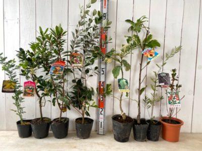 ミモザアカシア、ストロベリーツリー白花、ストロベリーツリー赤花、マンモス フェイジョア、ピンクレモネード檸檬、黄金桃、マンザニロ オリーブ、紅更紗どうだん躑躅などの本日の発送苗