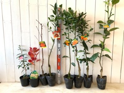 春の台椿、ヤングレディ スモークツリー、清水白桃、タッコロ ブラッドオレンジ、小みかん、せとか蜜柑、小原紅早生みかん、パールカン文旦などの本日の発送苗