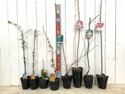モッコウバラ,ブラックカーラント,ブッドレア,ブルーベリー,桜,キウイ,花カイドウなどの本日の発送苗