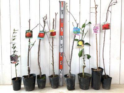 マンザニロオリーブ、ひめこなつ桃、ジョナゴールドりんご、紅玉りんご、ケルシージャパンすもも、星タンゴール蜜柑、雨情枝垂れ桜、相模しだれ花桃などの本日の発送苗